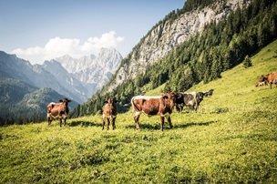 Kuhweide (c) Berchtesgadener Land Tourismus GmbH