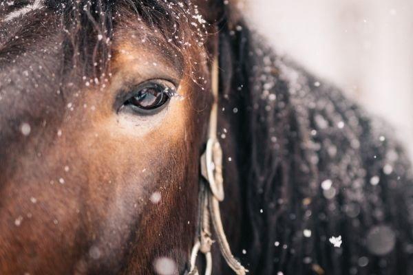Pferdekopf bei Schneefall